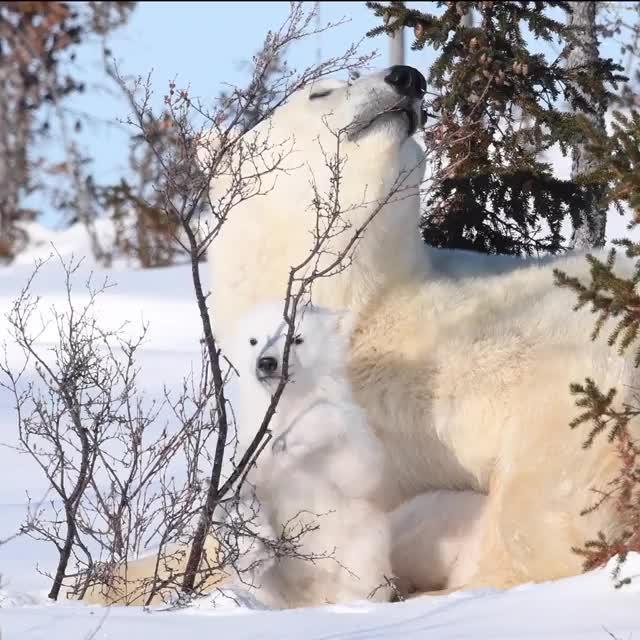 北极熊麻麻第一次带幼崽出来玩~