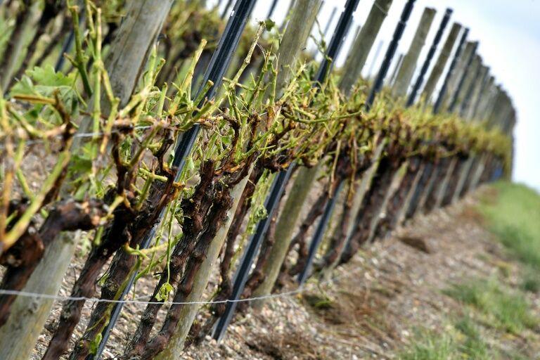 法国波尔多遭冰雹暴风雨袭击 7000公顷葡萄园被毁