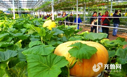"""85秒丨鱼菜共生、巨型南瓜、植物工厂……看看第二十届菜博会上的""""科技元素"""""""