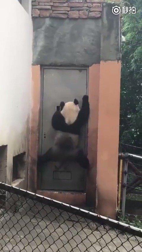 功夫杂技熊猫 [熊猫]