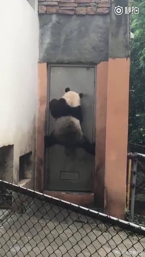 功夫杂技熊猫