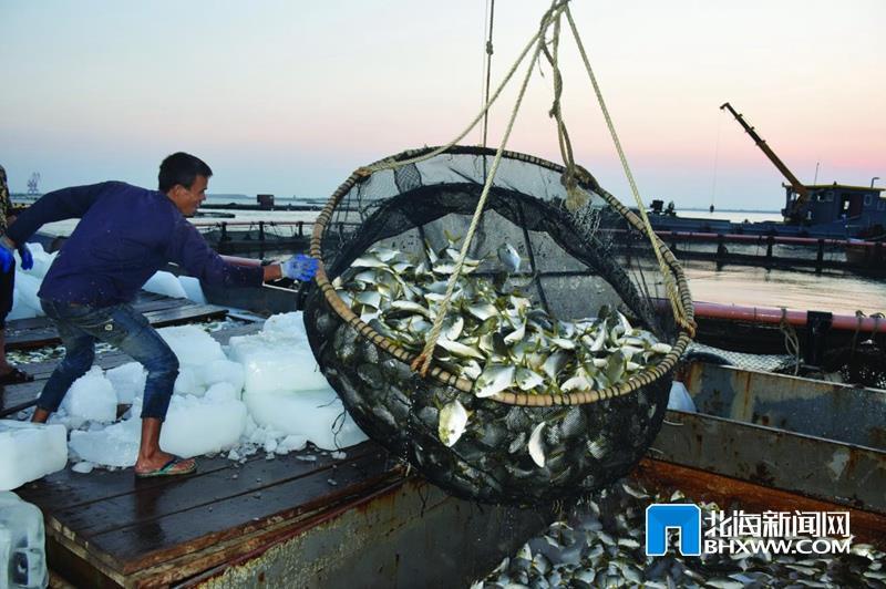 深水网箱养殖金鲳鱼肥美上市