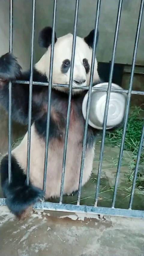 这是一只有怨念的大熊猫