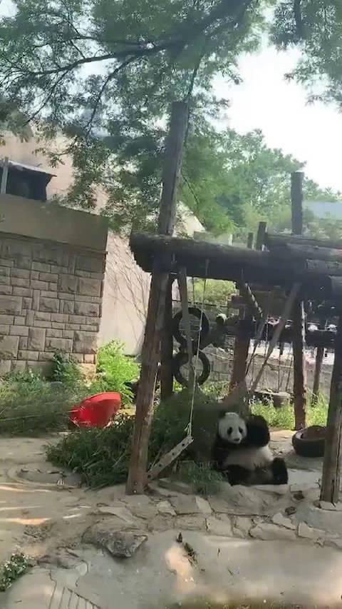 原来熊猫这么胆小的吗?吓得一激灵!!!