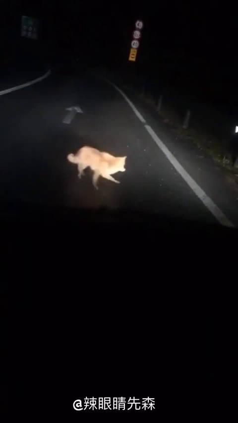 网友投稿:开夜车,路上偶遇一只转圈圈的狐狸,这是什么情况?