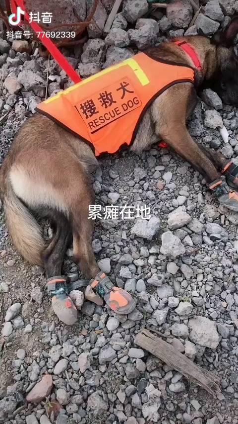 搜救犬累倒睡着的样子,无言的战友,致敬!