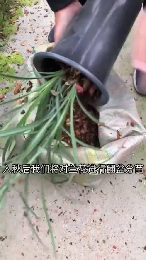 入秋后兰花的护理,牢记这些小技巧,提升兰花的存活率
