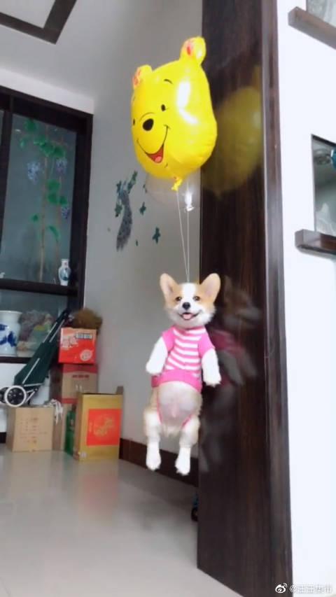 柯基乘坐氢气球,要去旅行了! 汪:这是我独家的,羡慕死你