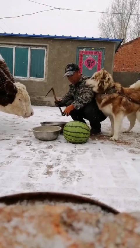 id花界小公子 啥,大冬天给牛和狗吃西瓜#水果#