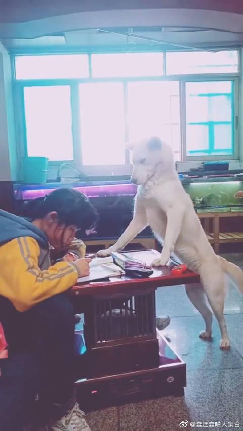 狗狗:这年头,当个宠物狗也不容易,还要监督孩子做作业