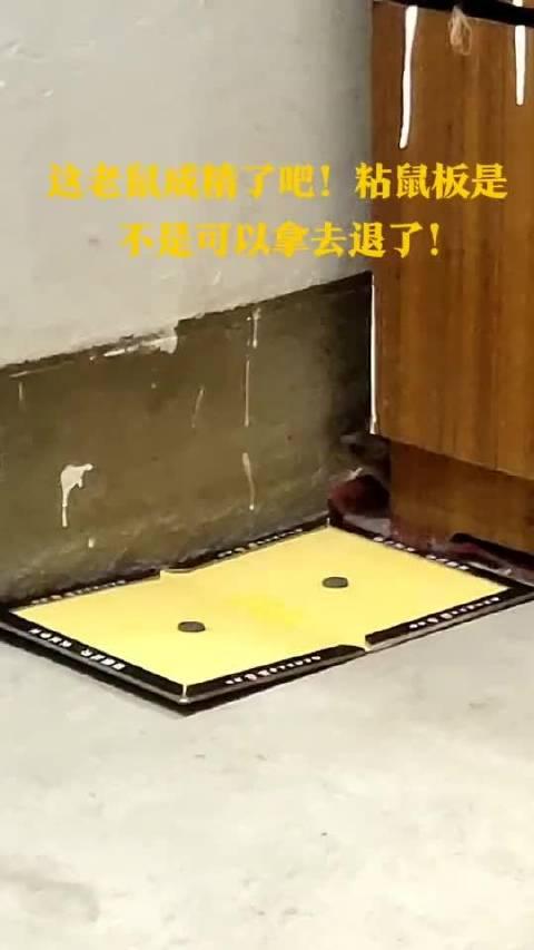 老鼠:这么大一个粘鼠板放这,你当我眼瞎???