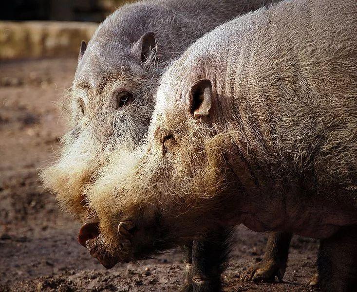 果壳带着猪猪和猪猪小秘密,给你拜年来啦!