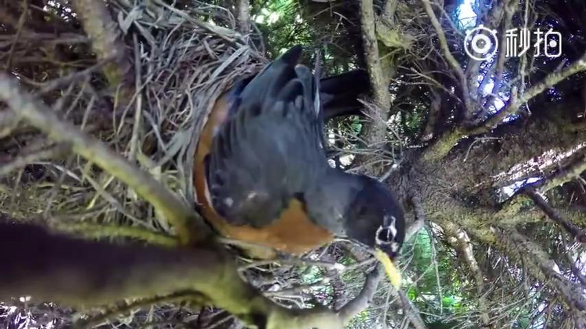 外国小伙发现他家院子里有一个鸟巢,决定偷偷靠近装个监控
