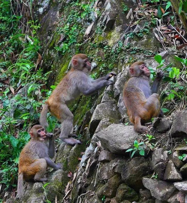 他在福安晓阳拍到300多只野生猕猴 还零距离接触