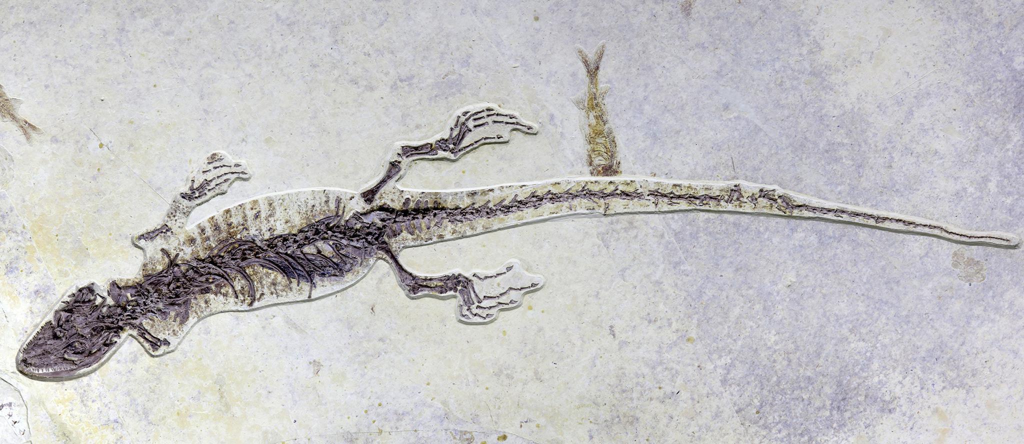 中外科研人员发现一亿年前含有胃容物的矢部龙标本