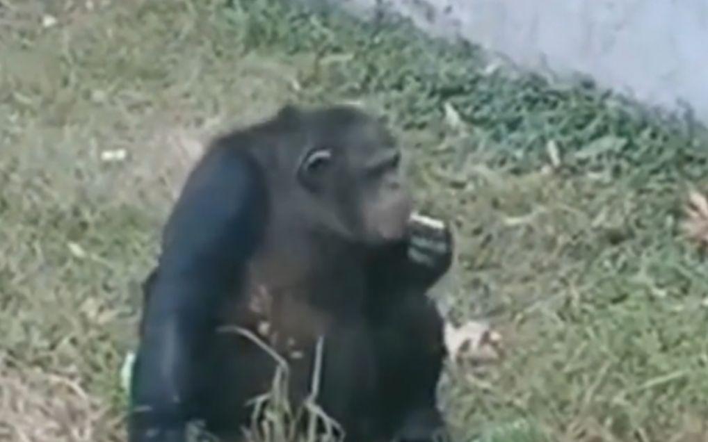 乌猩猩疑似正在抽烟。 视频截图