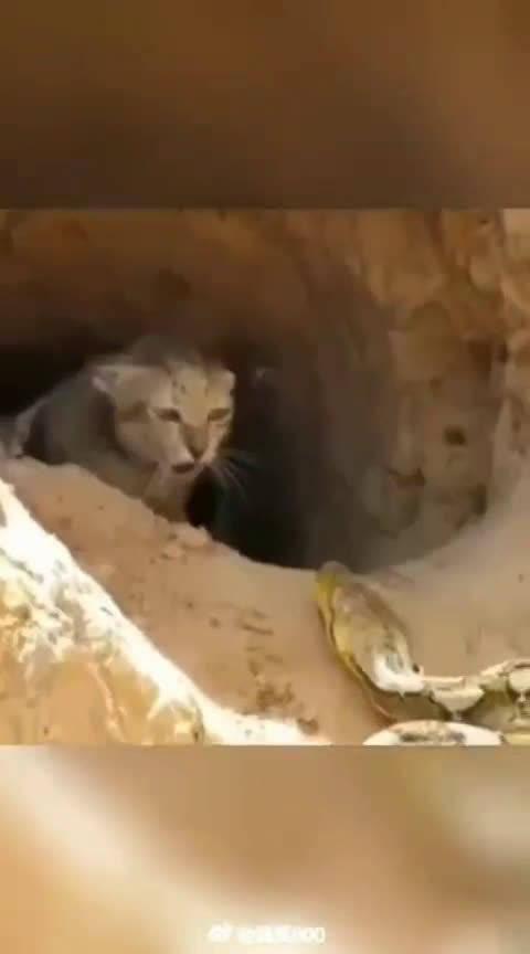 猫妈妈勇斗大蟒蛇,看得我好紧张。