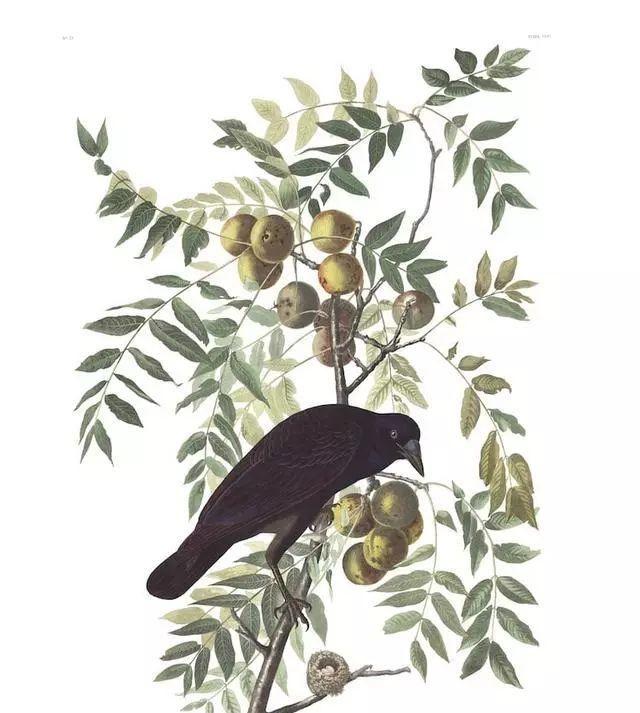 位美国画家和博物学家John James Audubon美国鸟类手绘作品