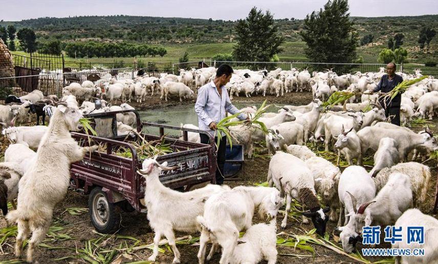 """▲陕西榆林市靖边县红墩界镇长胜村村民在圈舍中喂羊。陕北推行的""""封山禁牧,舍饲养羊""""政策,有效保护了草地(8月1日摄)。"""