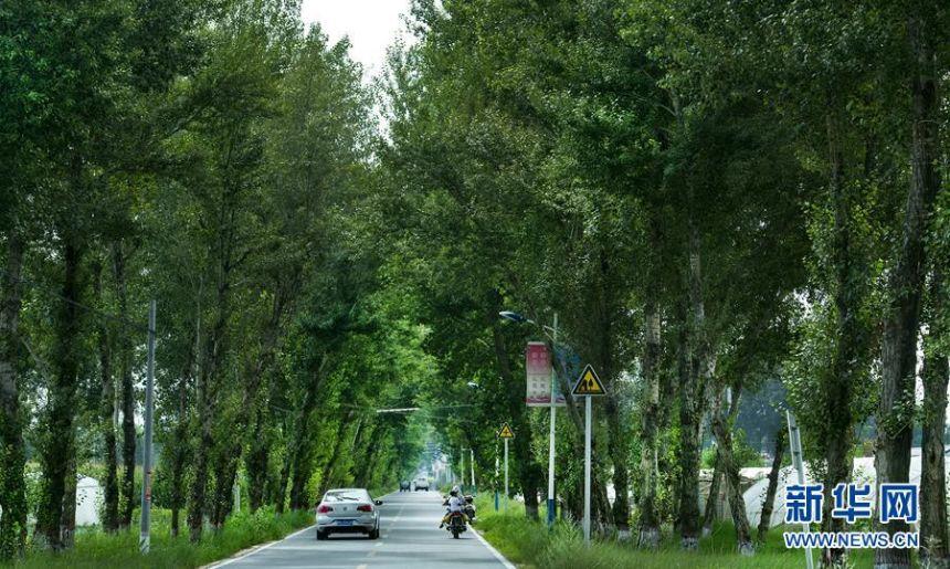 ▲陕西榆林市靖边县东坑镇东胜村道路两侧的大树(7月31日摄)。