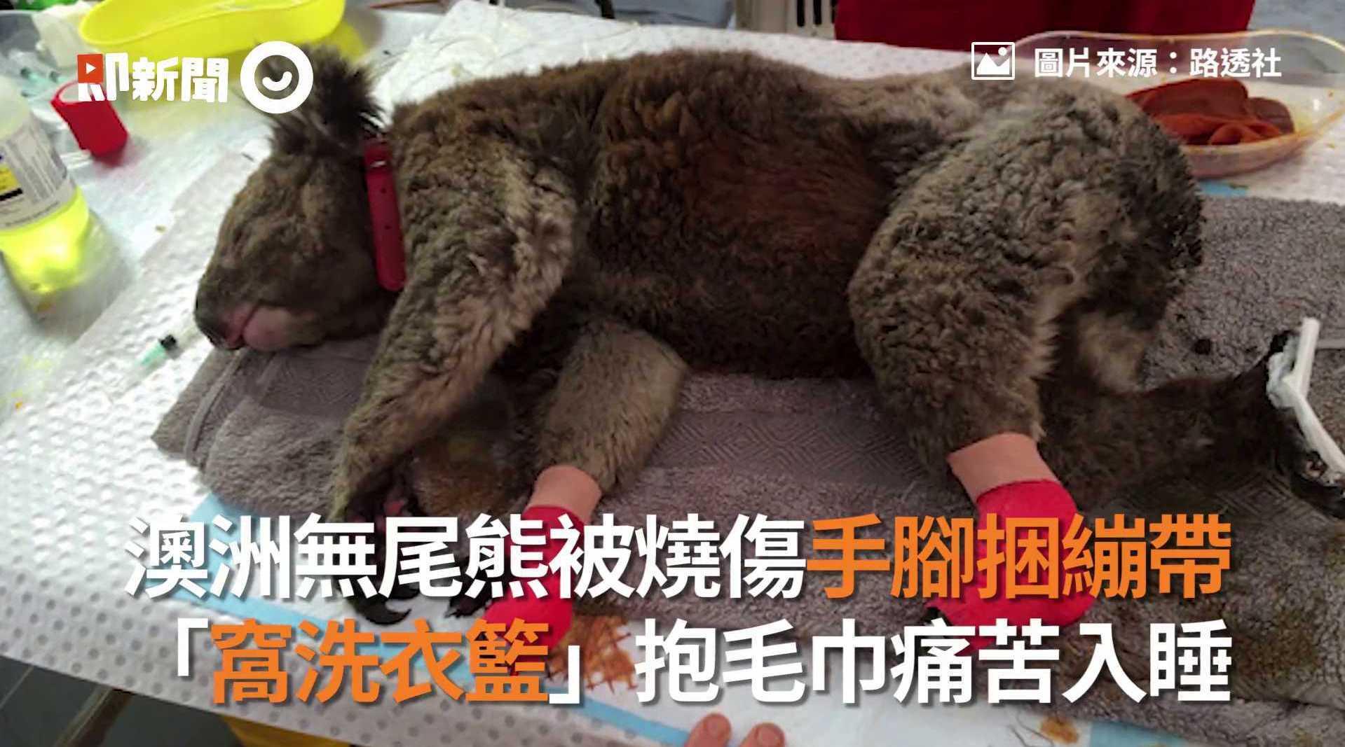 澳洲 考拉 被烧伤 手脚捆绷带「窝洗衣篮」抱毛巾入睡