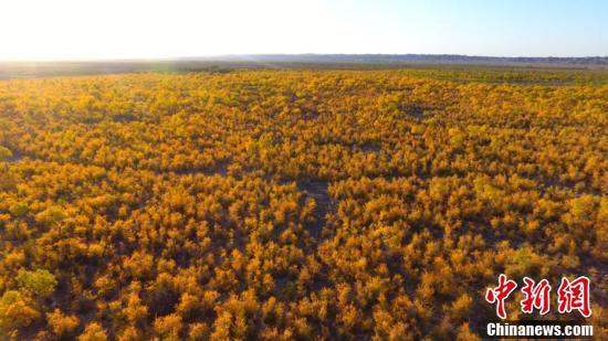 甘肃瓜州7万亩胡杨林渲染出最美戈壁秋景