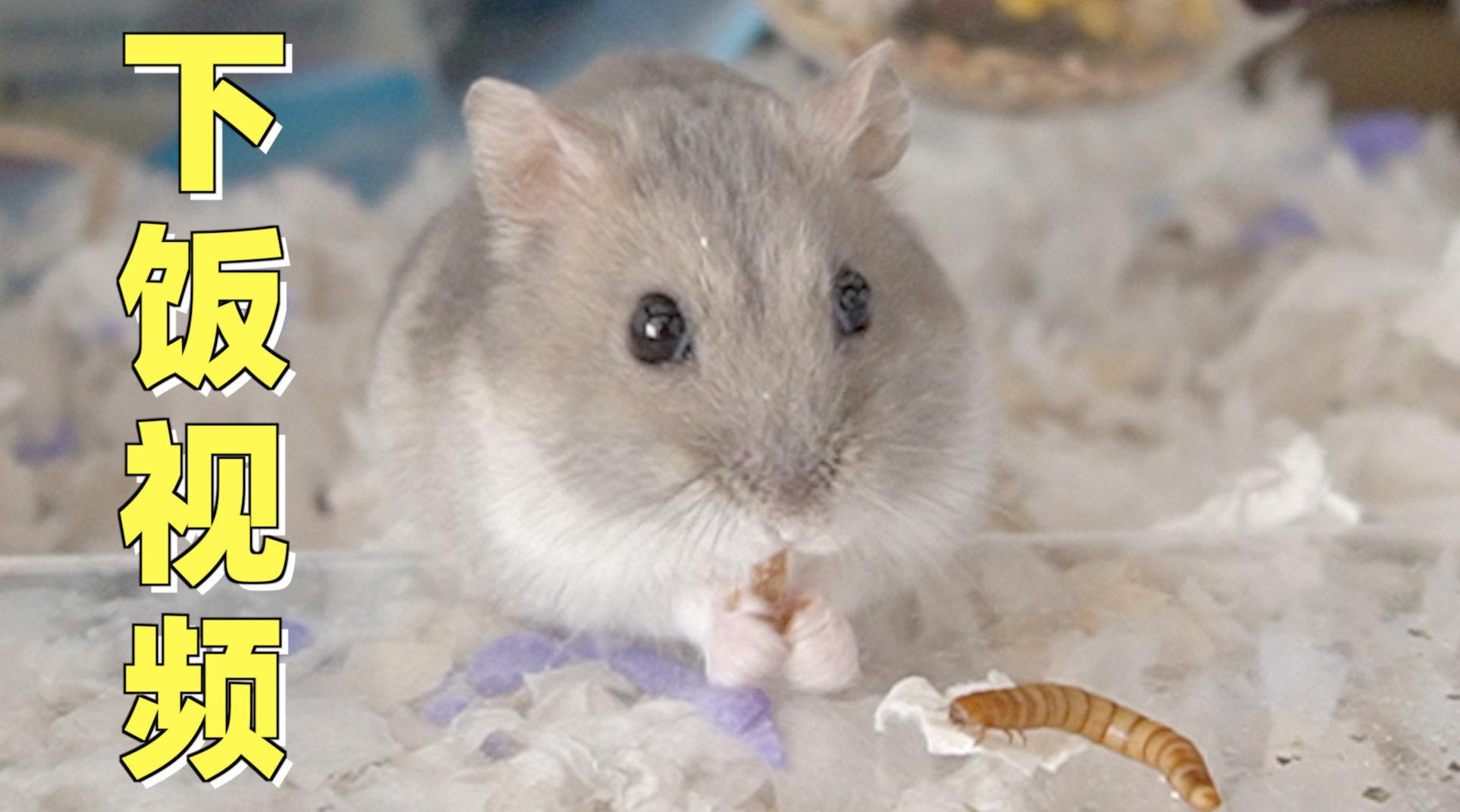 仓鼠大口吞活面包虫,咬掉半截后下半身还在蠕动,这蛋白质太新鲜了