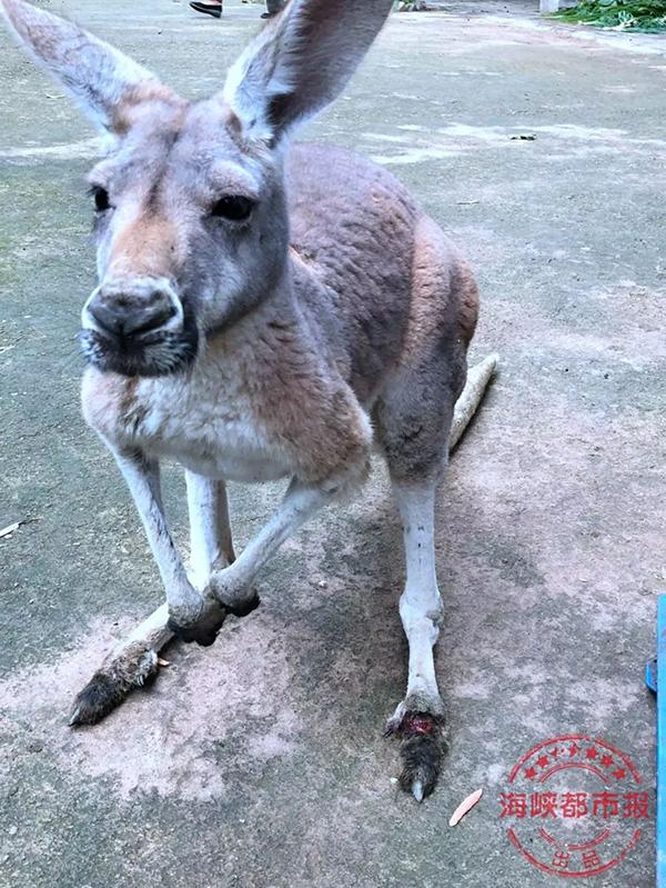 这只母袋鼠左脚趾几乎被砸断,一天后因肾脏大出血死亡