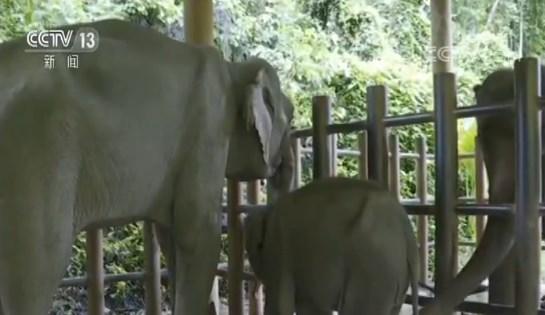 关注我国野生亚洲象 云南 诸多尝