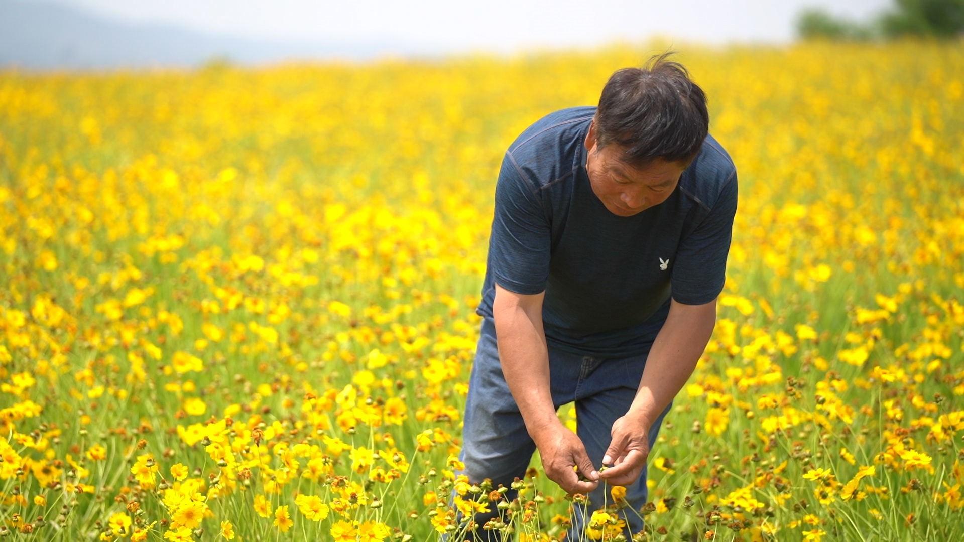 荣成崖西:金鸡菊开出农民致富新风景