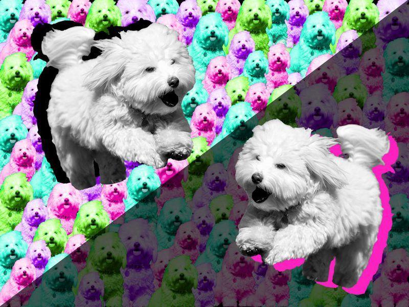 图1:2005年克隆2只小狗时,需要1000个胚胎和123只代孕狗。上个月,知名歌手芭芭拉?史翠珊(Barbra Streisand)透露,她的两只狗——维奥莱特小姐(Miss Violet)和思嘉小姐(Miss Scarlett)都是利用已故图利尔犬克隆出来的