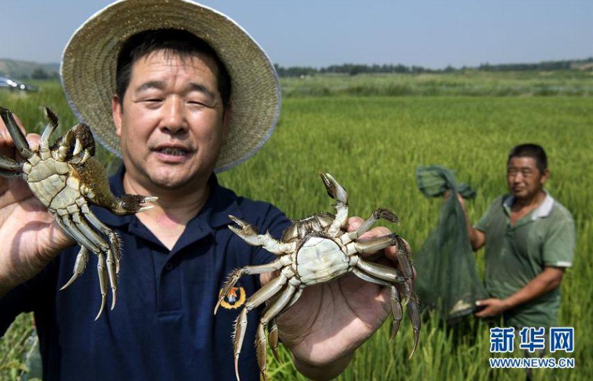 ▲8月4日,榆林市横山区百川生态农业有限公司技术顾问白永雷(左)向参观者展示沙漠中稻田里饲养的螃蟹。