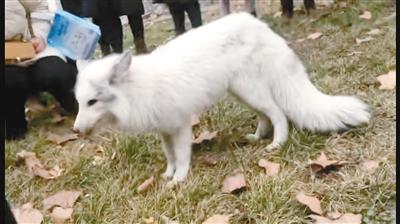白狐闯入厂区 吃饱后进了附近树林里