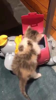 本来还没打算养猫,结果猫咪自己找上门。自己爬进小飞象盒子里太