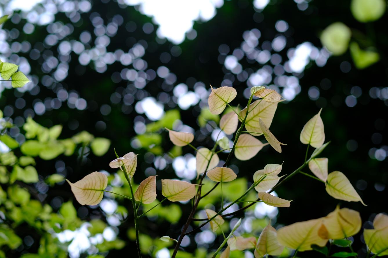 与春共生菩提树