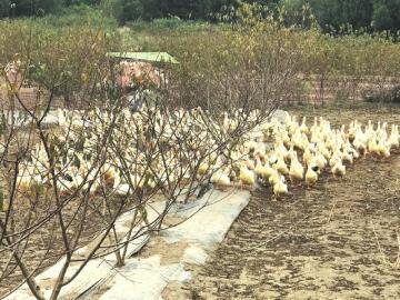 桃园套养鸭子 除草治虫好处多