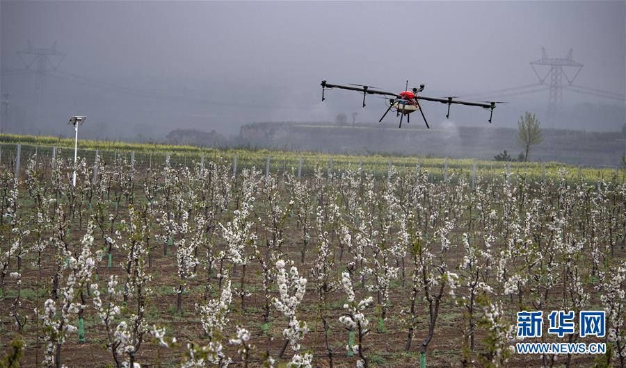 陕西渭南:千亩现代樱桃园助力群众致富图片