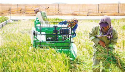 中国农业科学家在阿联酋沙漠中种出海水稻图片 28064 400x233