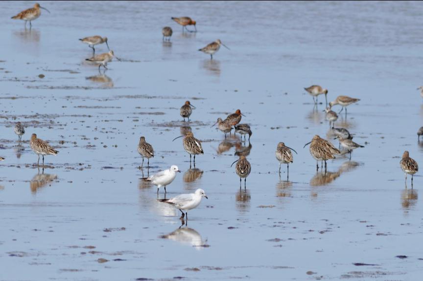 2020年4月1日,山东青岛滩涂的候鸟 王海滨/IC photo