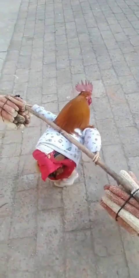 穷人家的鸡早当家