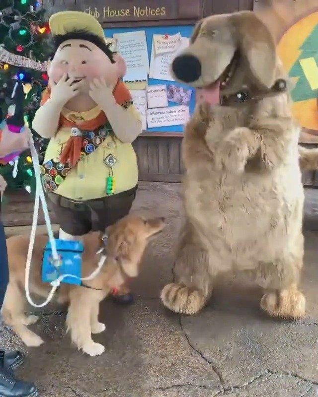 金毛Henry又去迪士尼玩啦,还见到了同样毛茸茸的狗子道格,坐下拍