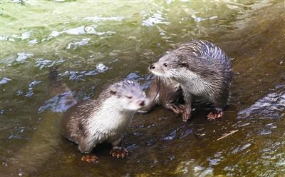 四川首次发现欧亚水獭稳定种群