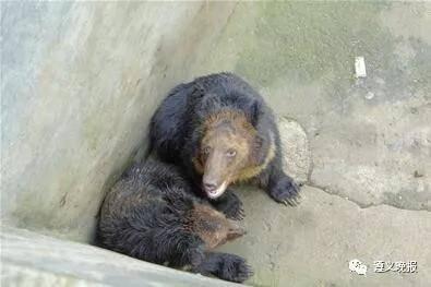 来到动物园后,两头棕熊不熟悉环境,总是待在圈舍的角落