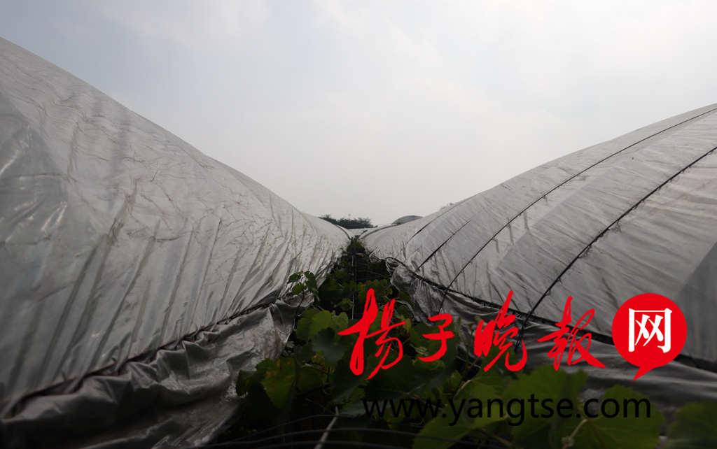 应对台风 句容大棚葡萄种植户紧急行动