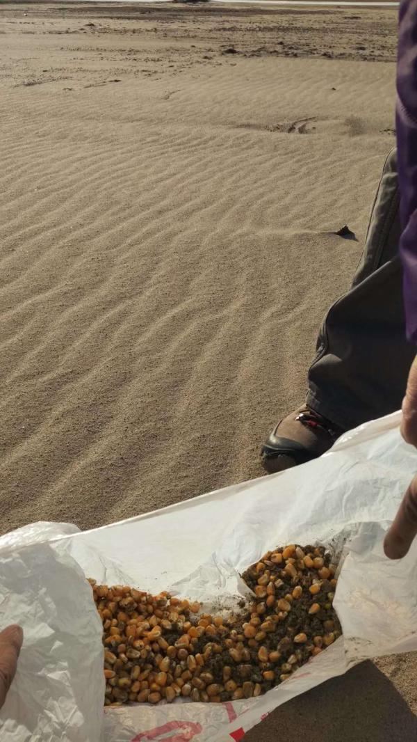 辽河流域巨流河桥上游河滩上发现的玉米粒,警方和周海翔均判断为有毒诱饵