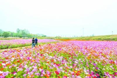金牛湖花海妖娆波斯菊花期正盛