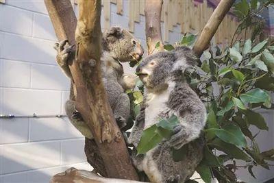 3月15日上午,南京红山森林动物园的考拉馆正式开馆,来自澳大利亚的2只
