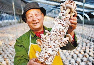 河北省遵化市平安城鎮一家香菇培育合作社的社員在展示長勢喜人的香菇。新華社發