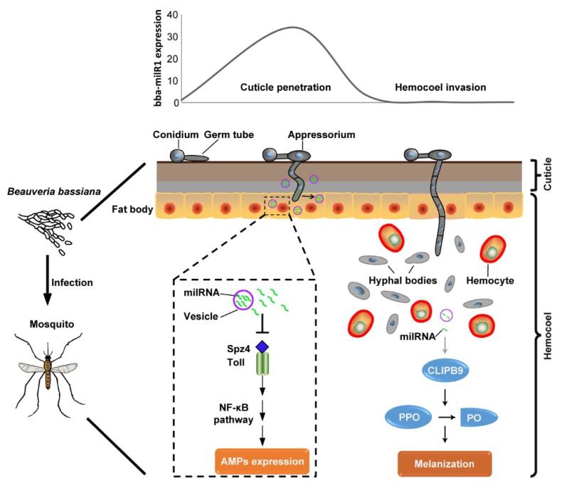 分子植物卓越中心发现真菌利用小RNA抑制蚊虫免疫反应新机制
