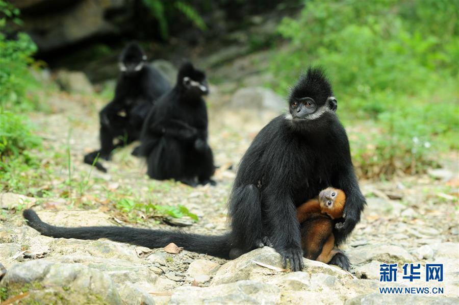 [野生动植物]麻阳河保护区:黑叶猴喜添丁